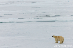 Polar bear (Ursus maritimus) walking away on the icefloe, Svalbard, 4