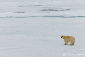 Polar bear (Ursus maritimus) walking away on the icefloe, Svalbard, 5