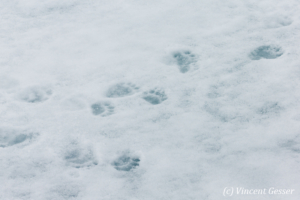Polar bear (Ursus maritimus) paw prints on the ice, Svalbard, 3