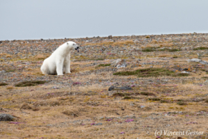 Polar bear (Ursus maritimus) sitting in the toundra, Svalbard