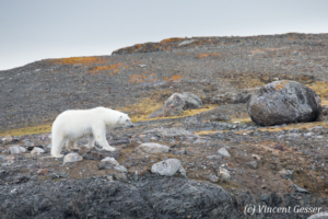 Polar bear (Ursus maritimus) walking in the toundra, Svalbard, 1