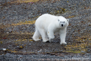 Polar bear (Ursus maritimus) walking in the toundra, Svalbard, 2