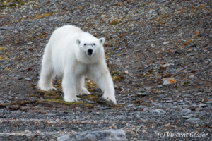 Polar bear (Ursus maritimus) walking in the toundra, Svalbard, 3