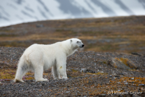 Polar bear (Ursus maritimus) standing in the toundra, Svalbard