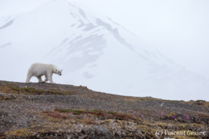Polar bear (Ursus maritimus) walking down in the toundra, Svalbard, 3