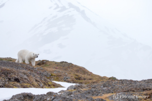 Polar bear (Ursus maritimus) walking down in the toundra, Svalbard, 4