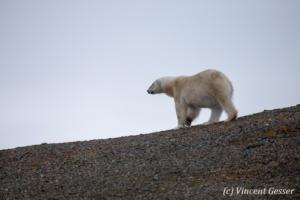 Polar bear (Ursus maritimus) walking down in the toundra, Svalbard, 5