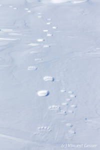 Polar bear (Ursus maritimus) close-up paw prints in the snow, Canada, Manitoba