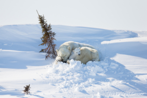 Polar bear (Ursus maritimus) mother and cubs sleeping in the snow, Canada, Manitoba
