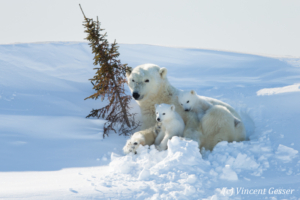 Polar bear (Ursus maritimus) mother and cubs in the snow, Canada, Manitoba, 1