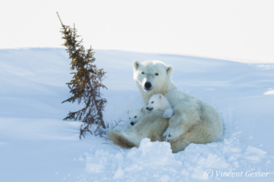 Polar bear (Ursus maritimus) mother and cubs in the snow, Canada, Manitoba, 2