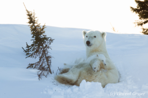 Polar bear (Ursus maritimus) mother and cubs in the snow, Canada, Manitoba, 3