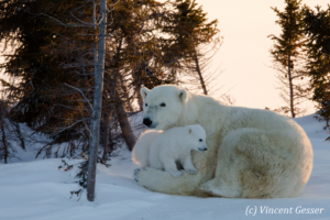 Polar bear (Ursus maritimus) mother and cubs in the snow, Canada, Manitoba, 4