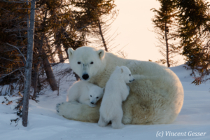 Polar bear (Ursus maritimus) mother and cubs in the snow, Canada, Manitoba, 5