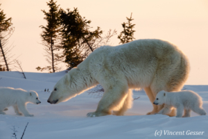 Polar bear (Ursus maritimus) mother and cubs in the snow, Canada, Manitoba, 6