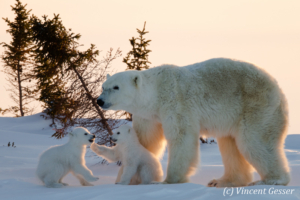 Polar bear (Ursus maritimus) mother and cubs in the snow, Canada, Manitoba, 8