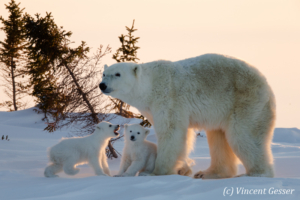 Polar bear (Ursus maritimus) mother and cubs in the snow, Canada, Manitoba, 9
