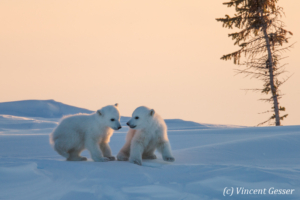 Two Polar bear (Ursus maritimus) cubs at sunset , Canada, Manitoba