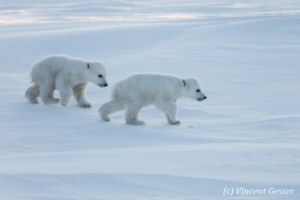 Two Polar bear (Ursus maritimus) walking in the snow, Canada, Manitoba, 1
