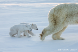 Two Polar bear (Ursus maritimus) cubs following mother, Canada, Manitoba