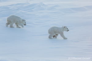 Two Polar bear (Ursus maritimus) walking in the snow, Canada, Manitoba, 3