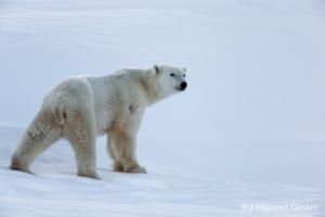 Polar bear (Ursus maritimus) female scanning, Canada, Manitoba