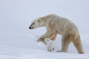 Polar bear (Ursus maritimus) mother and one cub, Canada, Manitoba