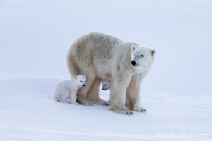 Polar bear (Ursus maritimus) mother and two cubs, Canada, Manitoba, 1