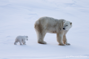 Polar bear (Ursus maritimus) mother and two cubs, Canada, Manitoba, 3