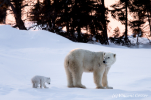 Polar bear (Ursus maritimus) mother and two cubs, Canada, Manitoba, 4
