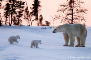 Polar bear (Ursus maritimus) mother and two cubs, Canada, Manitoba, 5