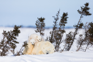 Polar bear (Ursus maritimus) mother and two cubs, Canada, Manitoba, 7