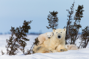 Polar bear (Ursus maritimus) mother and two cubs, Canada, Manitoba, 8