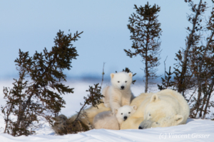 Polar bear (Ursus maritimus) mother and two cubs, Canada, Manitoba, 9