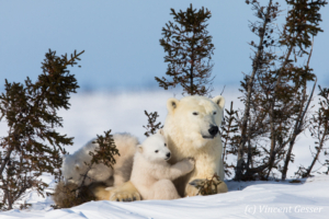 Polar bear (Ursus maritimus) mother and two cubs, Canada, Manitoba, 12