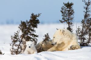 Polar bear (Ursus maritimus) mother and two cubs, Canada, Manitoba, 13
