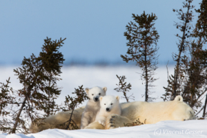 Polar bear (Ursus maritimus) mother and two cubs, Canada, Manitoba, 14