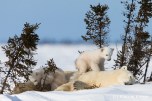 Polar bear (Ursus maritimus) mother and two cubs, Canada, Manitoba, 15