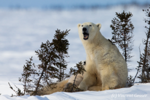 Polar bear (Ursus maritimus) mother yawning and cubs, Canada, Manitoba, 1