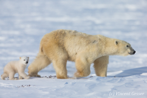 Polar bear (Ursus maritimus) mother and cub walking, Canada, Manitoba