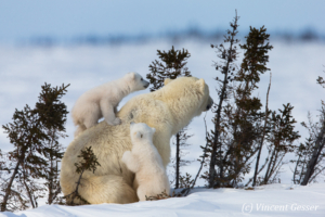 Polar bear (Ursus maritimus) mother and two cubs, Canada, Manitoba, 16