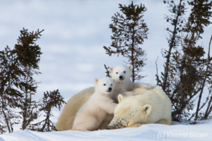 Polar bear (Ursus maritimus) mother and two cubs, Canada, Manitoba, 20