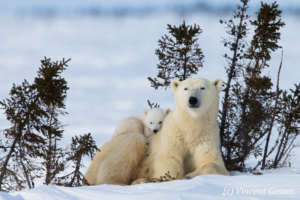 Polar bear (Ursus maritimus) mother and two cubs, Canada, Manitoba, 22