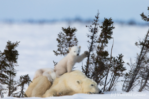Polar bear (Ursus maritimus) mother and two cubs, Canada, Manitoba, 23