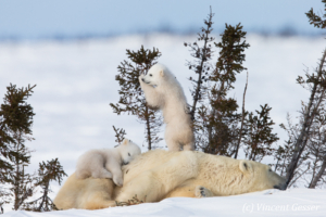 Polar bear (Ursus maritimus) mother and two cubs, Canada, Manitoba, 24