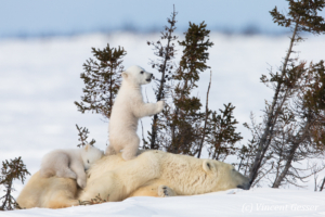 Polar bear (Ursus maritimus) mother and two cubs, Canada, Manitoba, 26
