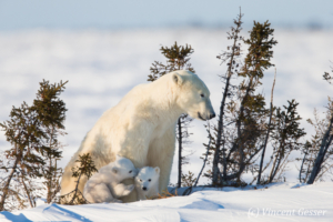 Polar bear (Ursus maritimus) mother and two cubs, Canada, Manitoba, 31