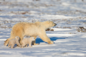 Polar bear (Ursus maritimus) mother and cubs walking, Canada, Manitoba, 1