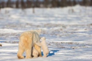 Polar bear (Ursus maritimus) mother and two cubs walking away, Canada, Manitoba, 1