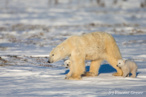 Polar bear (Ursus maritimus) mother and cubs walking, Canada, Manitoba, 2